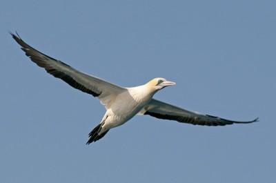 Gannet searching