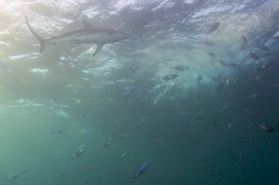 Eastern little tuna and sharks devour a shoal of baitfish on the surface - Jean Tresfon