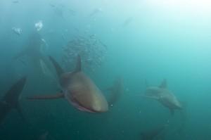 Sharks feeding - Jean Tresfon
