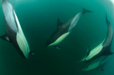 Dolphins descend into the dark waters to snatch a sardine - Pic by Geoff Spiby