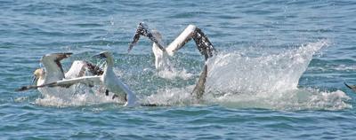 A shark bursts into a flock of squabbling gannets