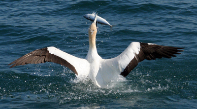 A gannets wingspan is 1.8m, it's a big bird. The fish in its mouth is about 30cm and is about to get swallowed whole !