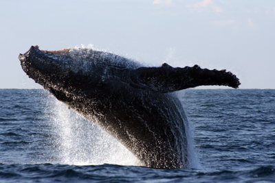 The ocean was alive with Humpback whales. Breaching splashes could be seen all over the ocean on some days