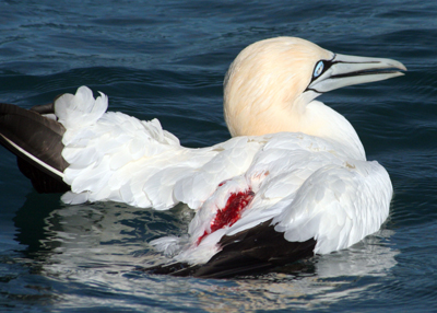 A fatally wounded Cape gannet, we watched as a copper shark burst into the squabbling flock of Gannets and bit at the commotion, leaving this bird injured