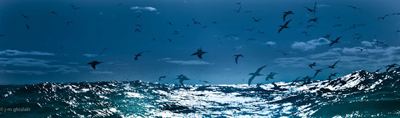 The predators experienced the rough weather with us, here Cape Gannets scour the ocean for fish