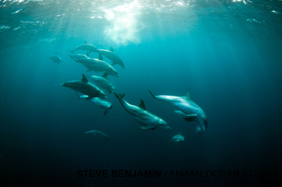 Sardine Run with Animal Ocean South Africa