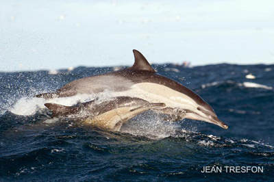 Mother and calf Long beaked common dolphins search for the next meal
