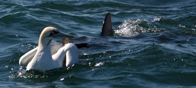 A shark cruises up to an unsuspecting gannet, just after the birds have been fighting with a big mackerel