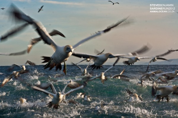 Cape Gannets on a sardine bait ball off Port St John's on the annual Sardine Run.