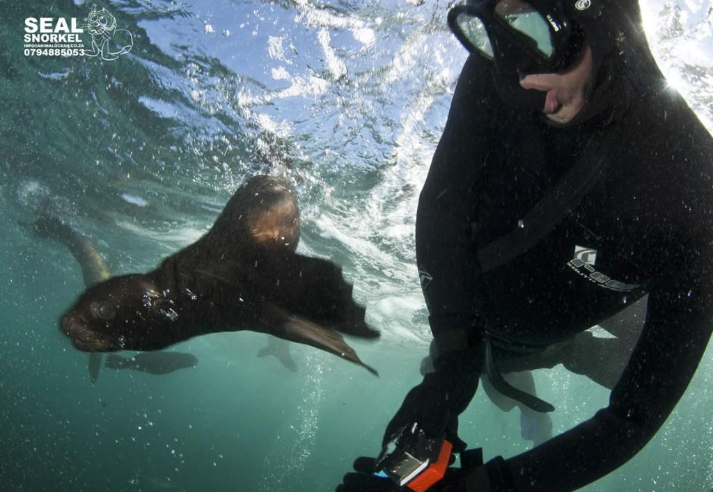 A Cape Fur seal pup whizzes past a snorkeler at duiker island, Cape Town