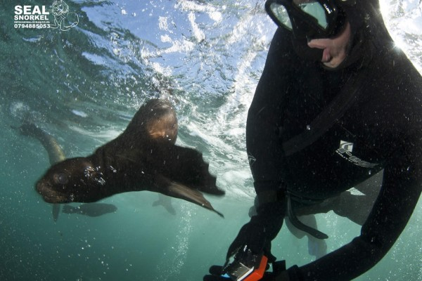 A Cape Fur seal pup whizzes past a snorkeler at duiker island, Cape Town
