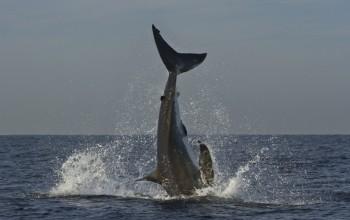 Breaching Great White shark, False Bay, Cape Town