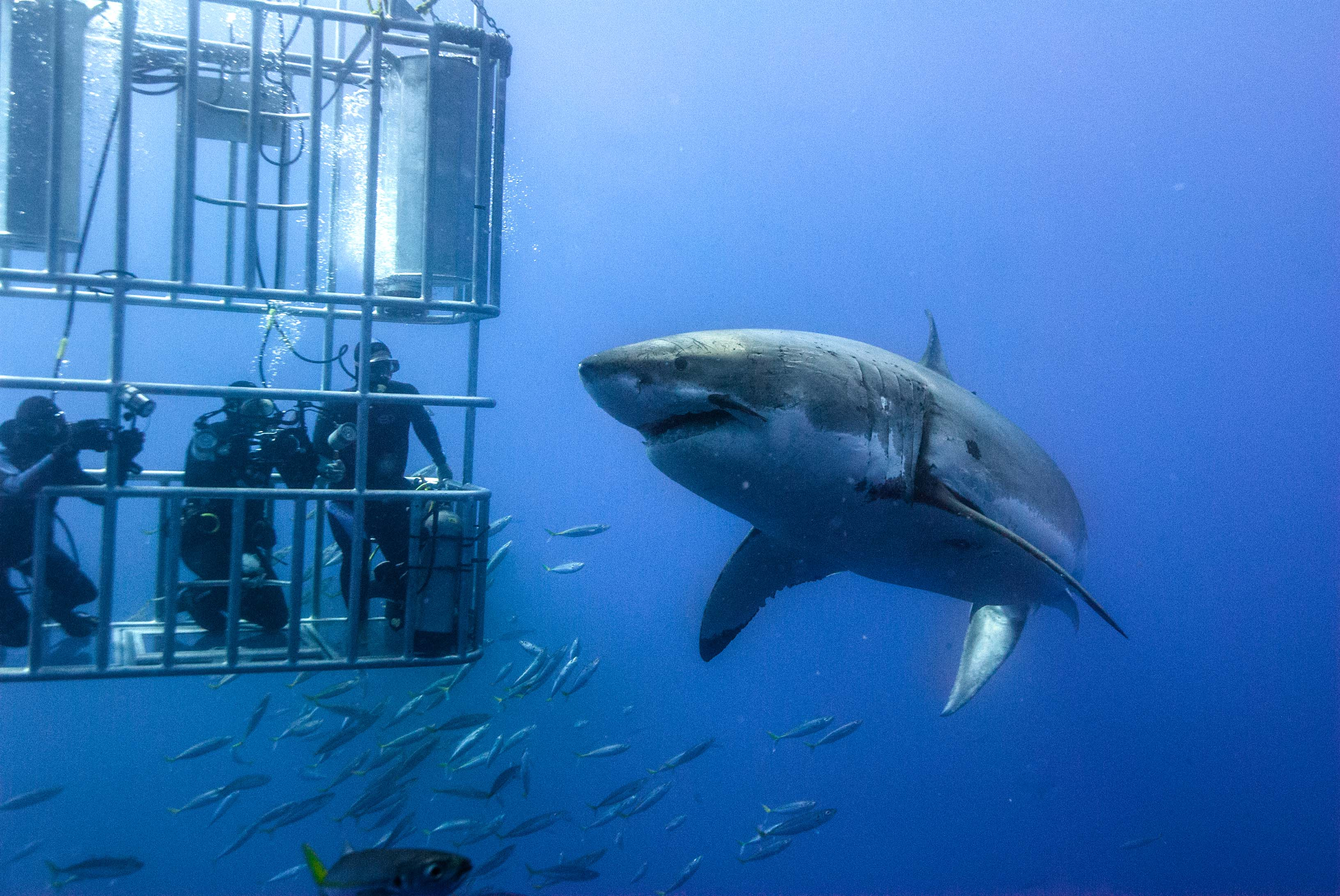 Image result for cage diving great whites cape town
