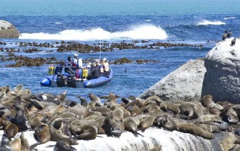 seal snorkeling animal ocean cape town 3