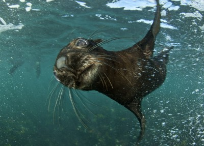 seal snorkeling cape fur seal diving