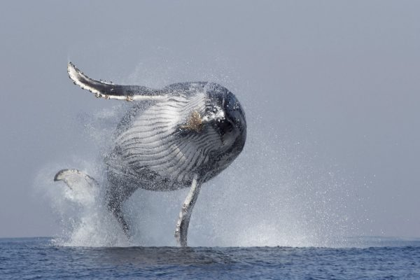Humpback whale breach Steven Benjamin Animal Ocean