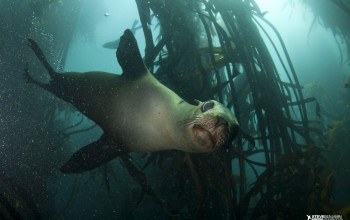 A curious Cape fur seal gazes at SCUBA divers in the kelp forest surrounding Duiker Island, Hout Bay Cape Town.