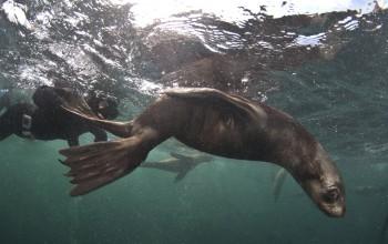 Seal Snorkeling, Duiker Island, Hout Bay, Cape Town, Animal Ocean