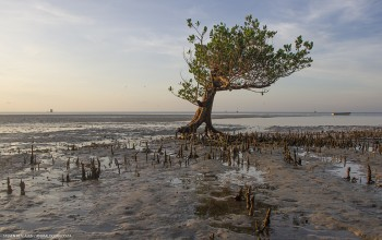 Mangrove mud flats in front of the whale shark camp - Animal Ocean expeditions