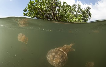 Jellyfish swim in the mangroves - Animal Ocean expeditions