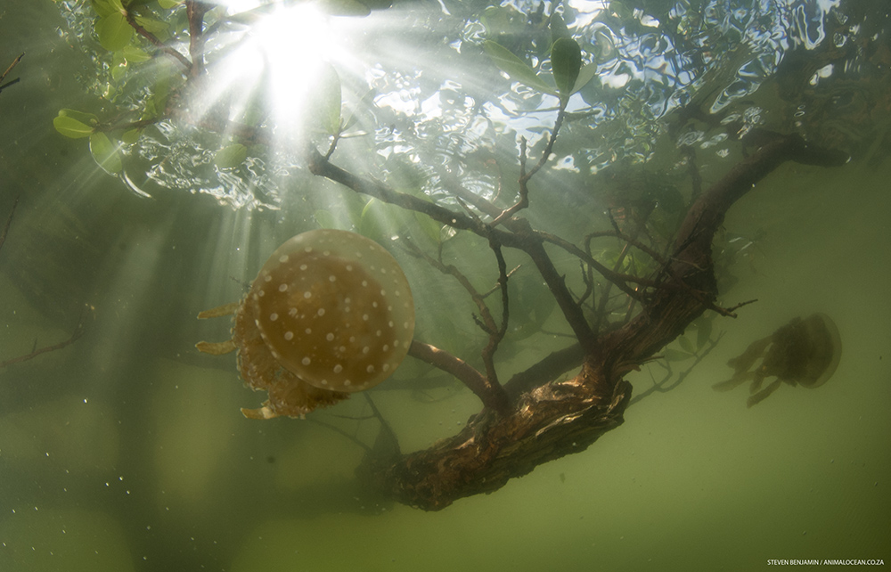 Jellyfish in the mangroves - Animal Ocean expeditions