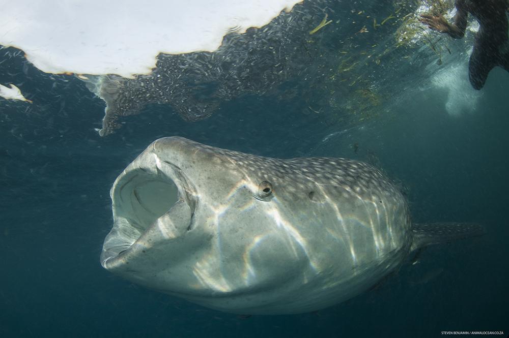 Feeding Whale shark Mafia Island - Animal Ocean expeditions