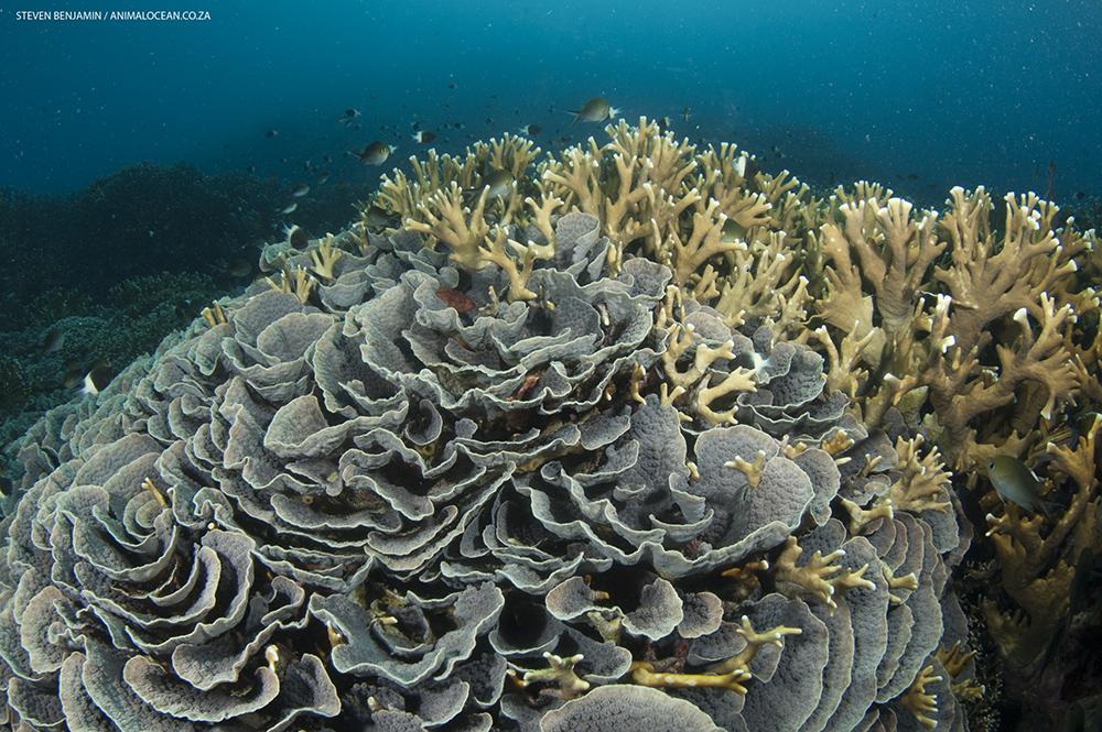 Mafia Island coral reefs - Animal Ocean expeditions