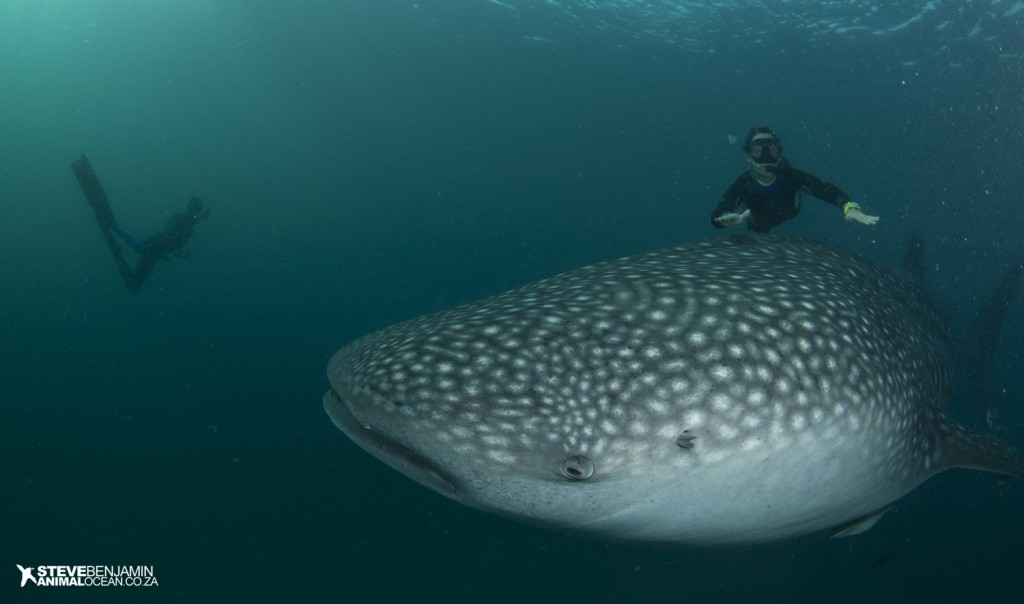 Freedivers Pierre Frolla and Mara swim with a whale shark off Mafia Island.