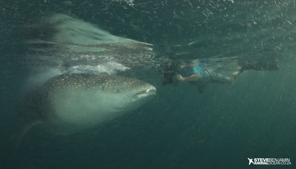 Photographer, Jean Tresfon, swims in plankton soup to get close up images of feeding Whale Sharks off Mafia Island with Animal Ocean