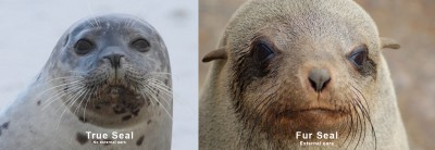 Seal and fur Seal ear comparison Cape Fur Seal Snorkeling Hout Bay Cape Town Animal Ocean