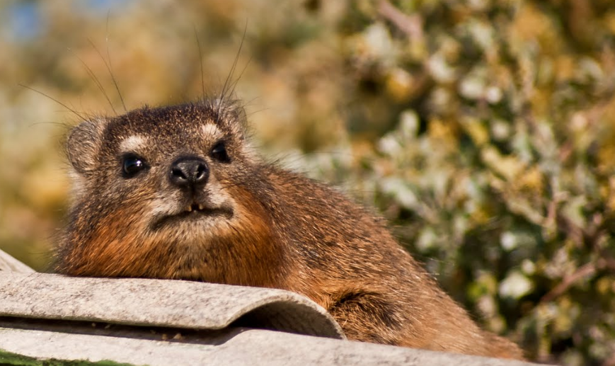 Rock Hyrax, Dassie Cape Town Wildlife