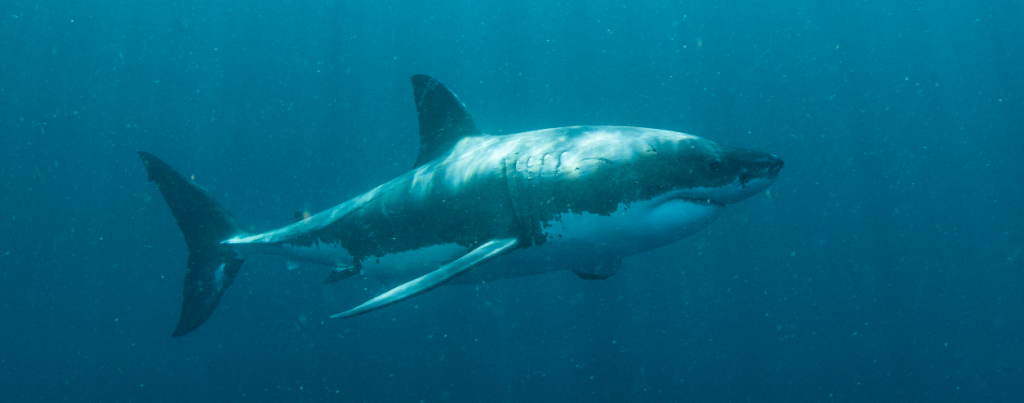 Great White Shark Animal Ocean Cape Town Cape Town Wildlife