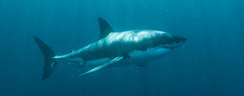Great White Shark Animal Ocean Cape Town