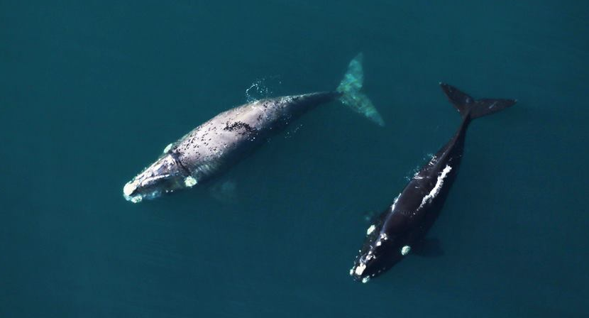 Southern Right Whale Cape Town South Africa. Cape Town Wildlife