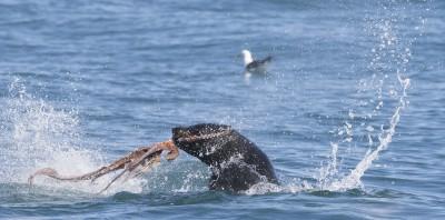 Seal eating octpus Seal Snorkeling Cape Town Animal Ocean
