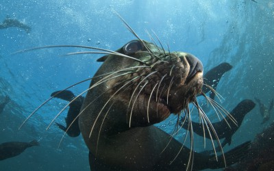 Cape Fur Seal Snorkeling Hout Bay Cape Town Animal Ocean