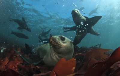 Seal Snorkeling Hout Bay Animal Ocean
