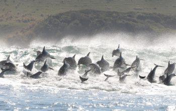 Sardine Run 2019 Animal Ocean