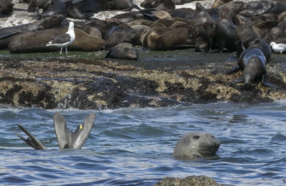 Elephant seal, duiker island hout bay, cape town, seal snorkeling, animal ocean, steve benjamin