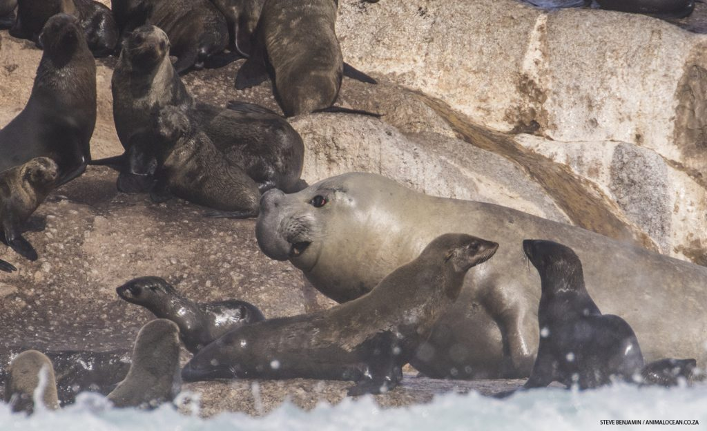 Elephant Seal killing Cape Fur Seals in Cape Town, Animal Ocean Steve Benjamin