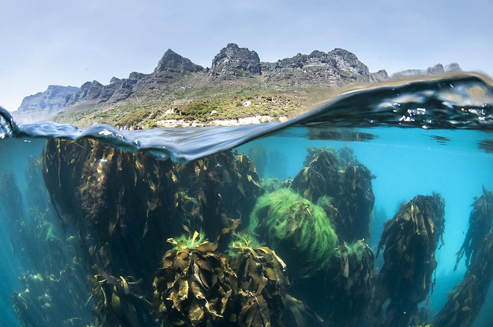 Two Oceans Aquarium, Steve Benjamin, Animal Ocean, Cape Town Kelp slip image,Twelve Apostles and Kelp Forest, Steve Benjamin