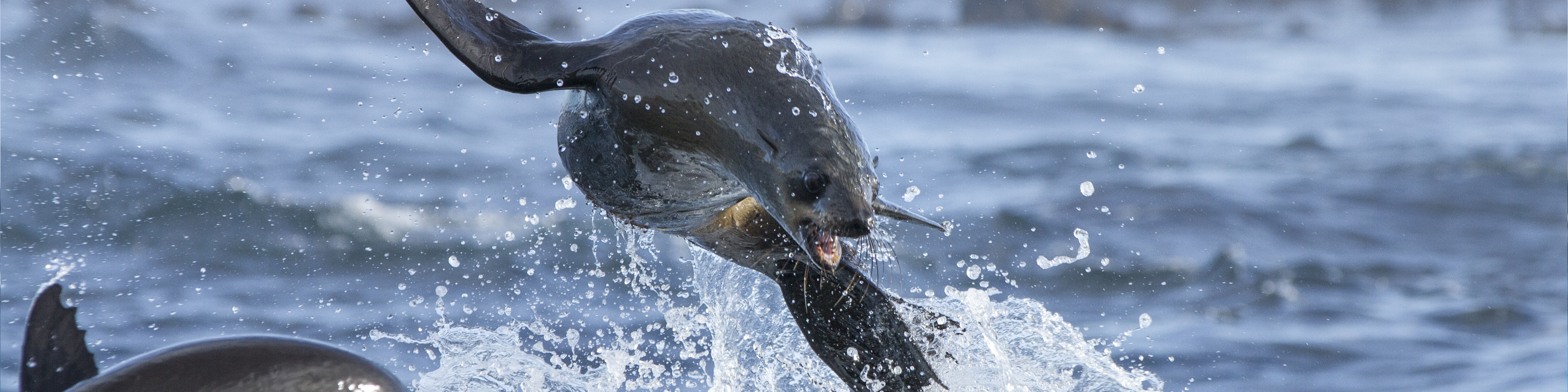 Cape Fur Seal Jumping Animal Ocean