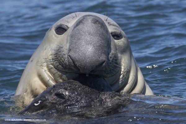 Elephant seal Duiker Island Animal Ocean Steve Benjamin