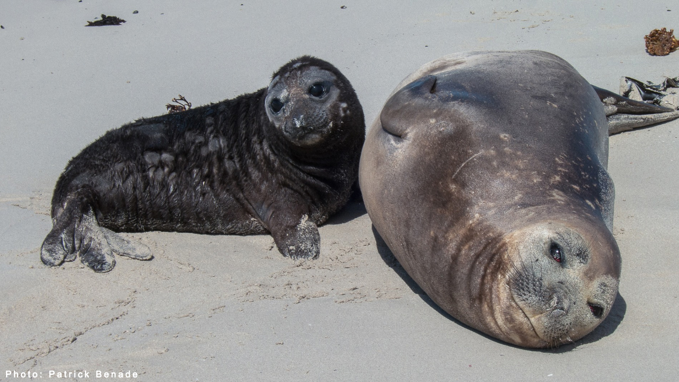 Buffel Elephant Seal Fish Hoek Steven Benjamin Animal Ocean