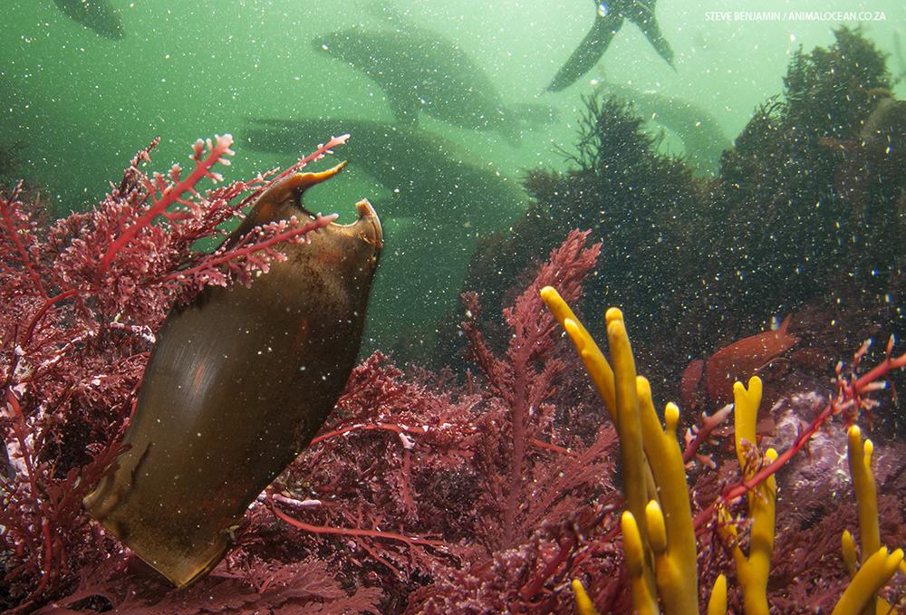 Dark shyshark cape fur seal animal ocean seal snorkeling shysharks