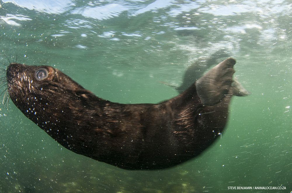 Cape Fur Seal Pup Animal Ocean Seal Snorkeling