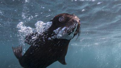 Cape Fur Seal pup rescue Steve Benjamin Animal Ocean Seal snorkeling