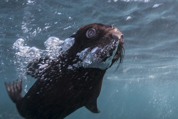 Cape Fur Seal pup rescue Steve Benjamin Animal Ocean Seal snorkeling