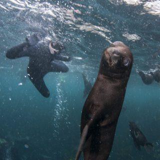 fur seal pup seal snorkeling animal ocean sealsnorkeling.com