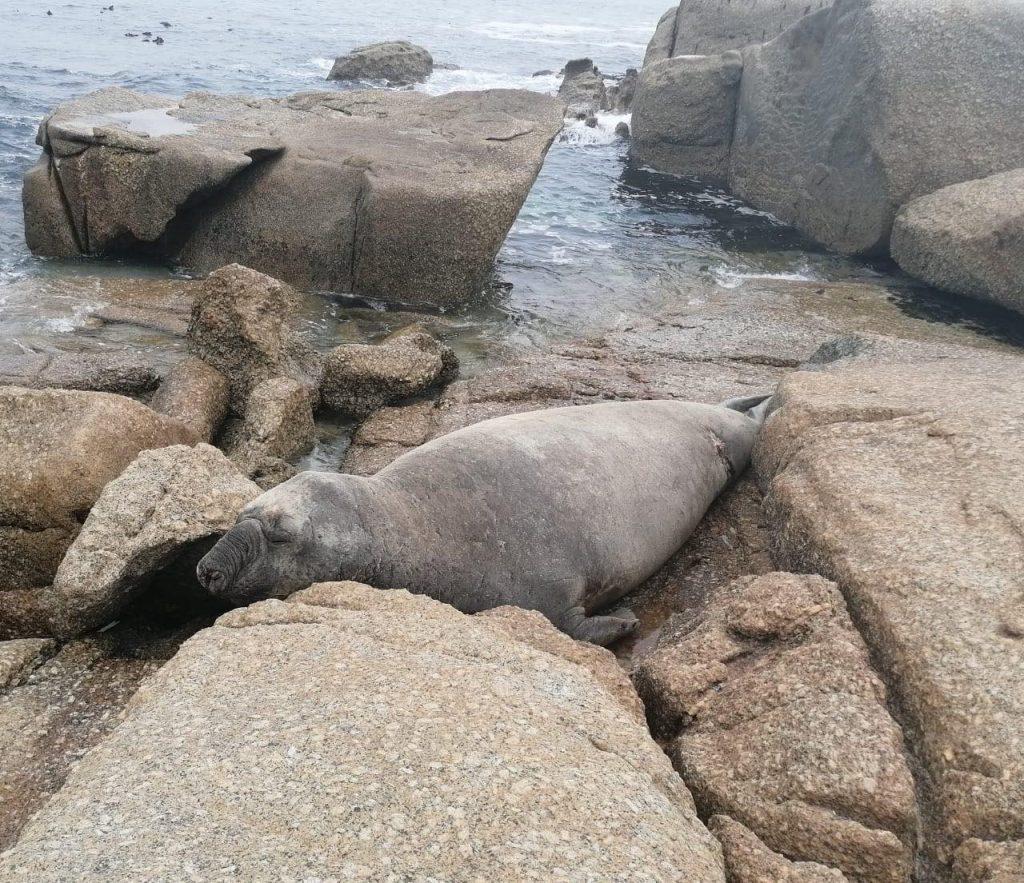 Buffel, Elephant seal, Cape Point, Animal Ocean Seal Snorkeling